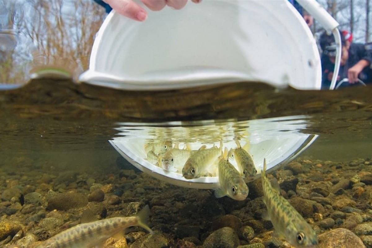 Young salmon are released after being grown in a hatchery. (Fernando Lessa) Young salmon are released after being grown in a hatchery. (Photo by Fernando Lessa)