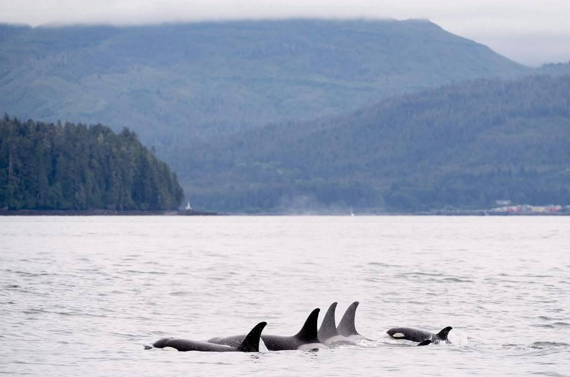 Killer whales are shown in Chatham Sound near Prince Rupert, B.C., Friday, June, 22, 2018. The endangered southern resident killer whale population suffered more loss with one of the orcas possibly dying of cancer, says an expert. THE CANADIAN PRESS Jonathan Hayward