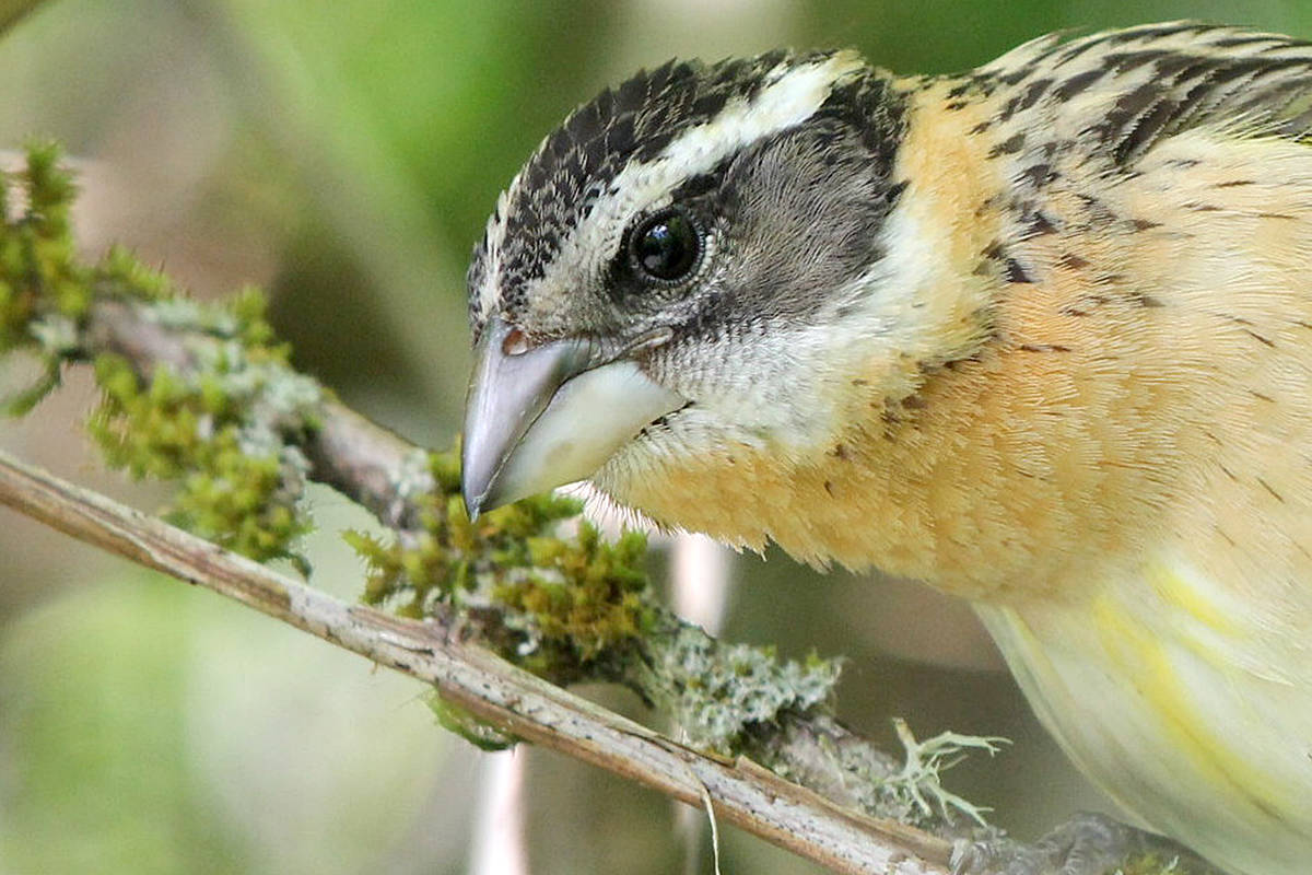 Black-headed grosbeak discovered during a day at Campbell Valley Regional Park in Langley. (David Clements/Special to Langley Advance Times)