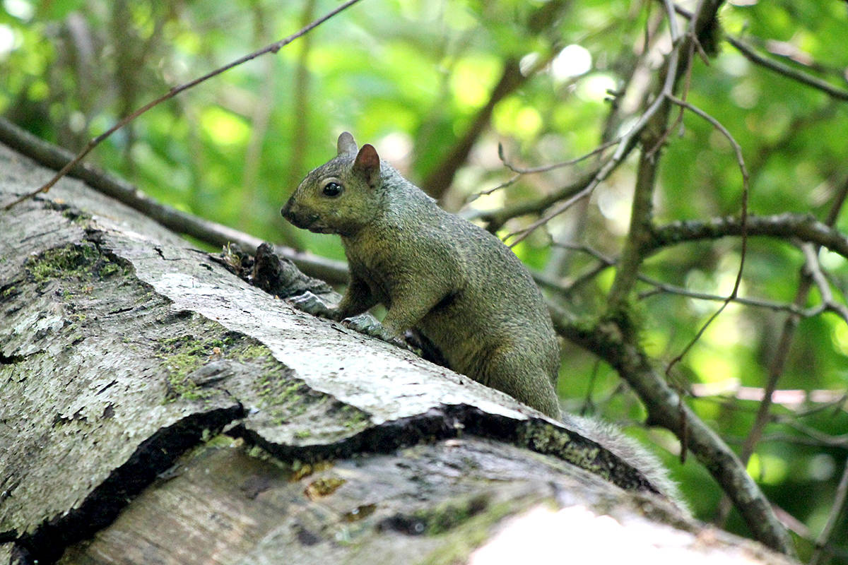 Douglas squirrel discovered during a day at Campbell Valley Regional Park in Langley. (David Clements/Special to Langley Advance Times)