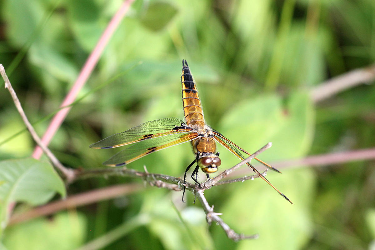 Four-spotted skimmer dragonfly discovered during a day at Campbell Valley Regional Park in Langley. (David Clements/Special to Langley Advance Times)