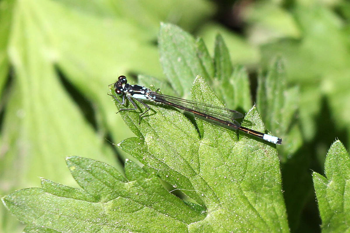 Pacific forktail damselfly discovered during a day at Campbell Valley Regional Park in Langley. (David Clements/Special to Langley Advance Times)