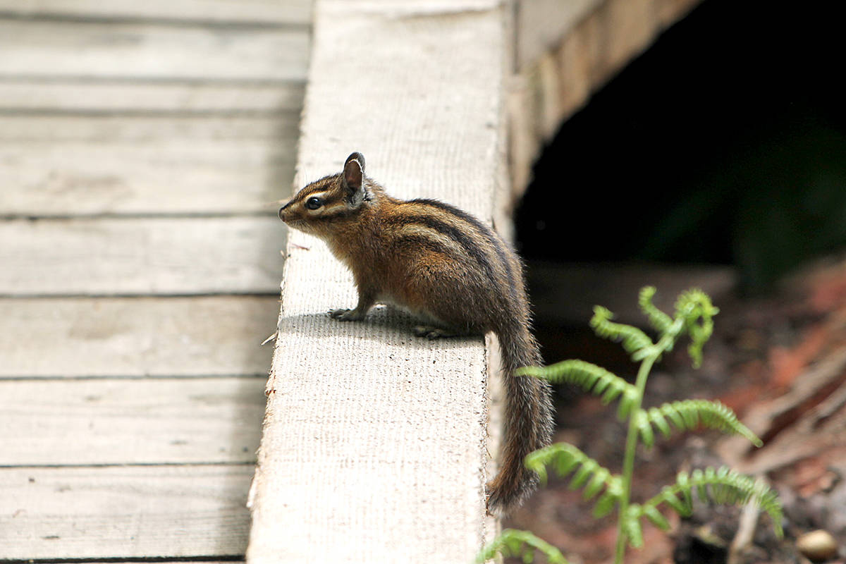 A Townsend's chipmunk was discovered during a day at Campbell Valley Regional Park in Langley. (David Clements/Special to Langley Advance Times)
