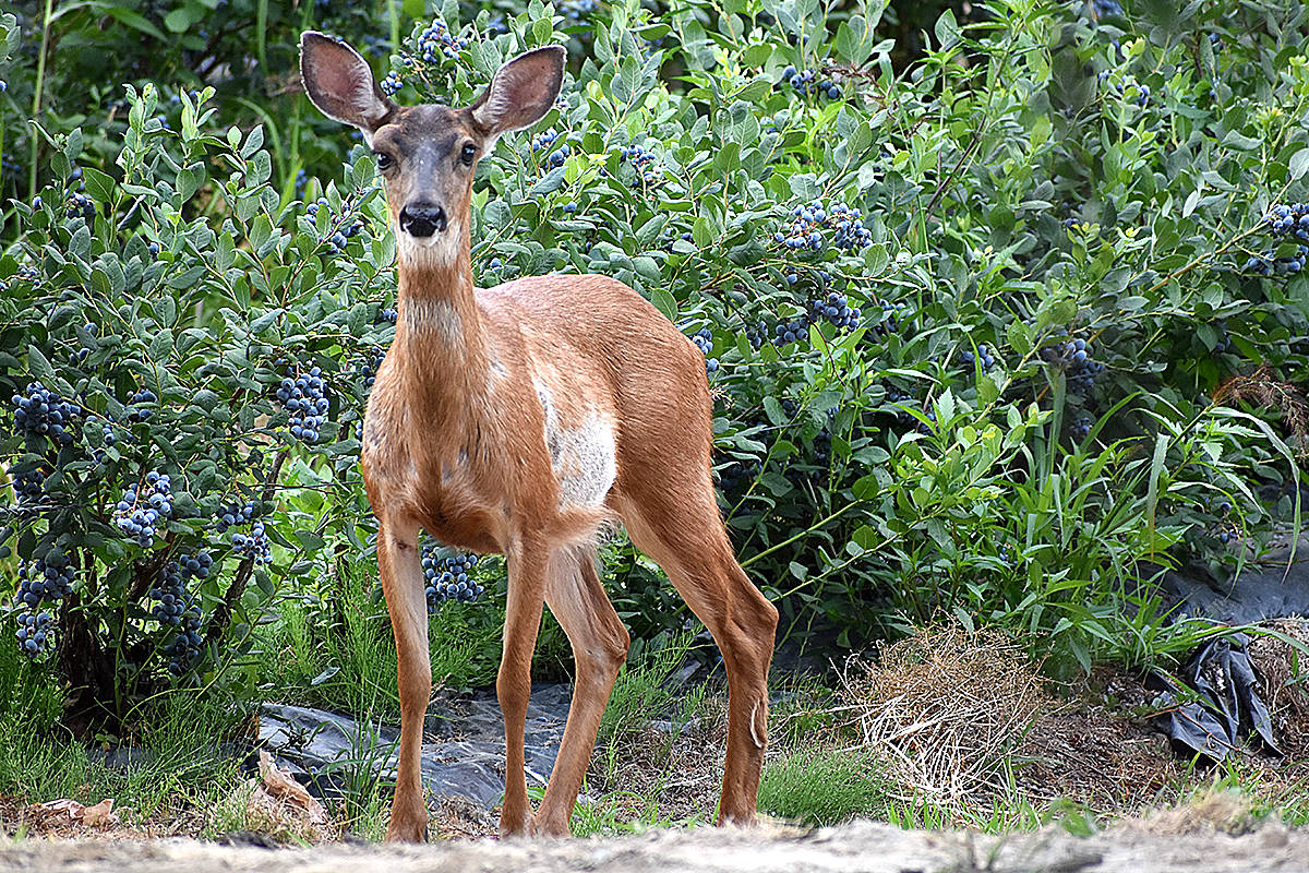 Langley's Cora Goodyear snapped this shot of a young deer she spotted grazing in a blueberry field off Allard Crescent in Fort Langley recently. The deer appeared to be losing its spots, with new fur coming in to replace areas on its stomach. (Special to Langley Advance Times)
