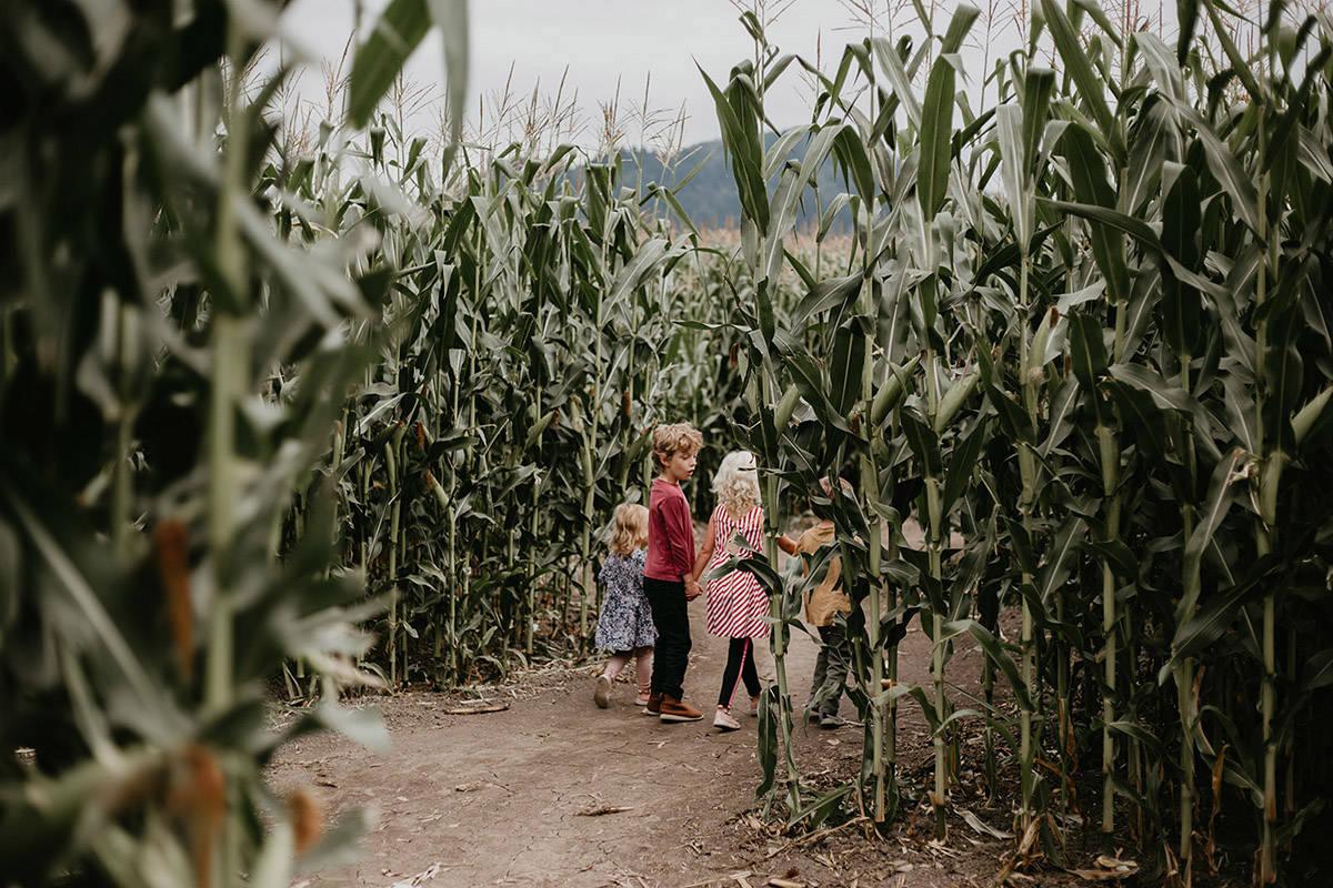 The Chilliwack Corn Maze opens on Saturday, Aug. 14, 2021. (Julie Christine)