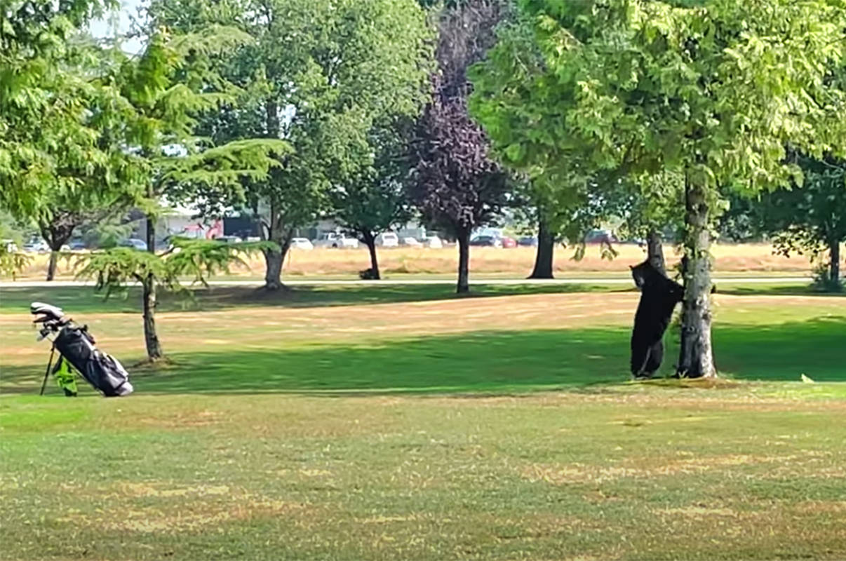 Golf bag spooks a bear. (Youtube/Special to The News)
