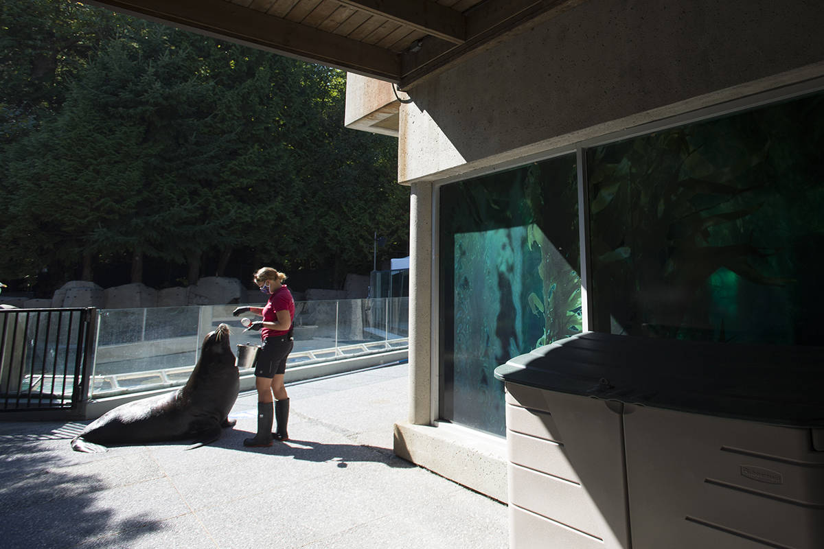Vancouver Aquarium staffer Jessica DeBenedetto feeds a sea lion in the main walkway of the aquarium Thursday, September 10, 2020. The Vancouver Aquarium has had to close its doors to the public due to the lack of visitors during the COVID-19 pandemic. THE CANADIAN PRESS/Jonathan Hayward