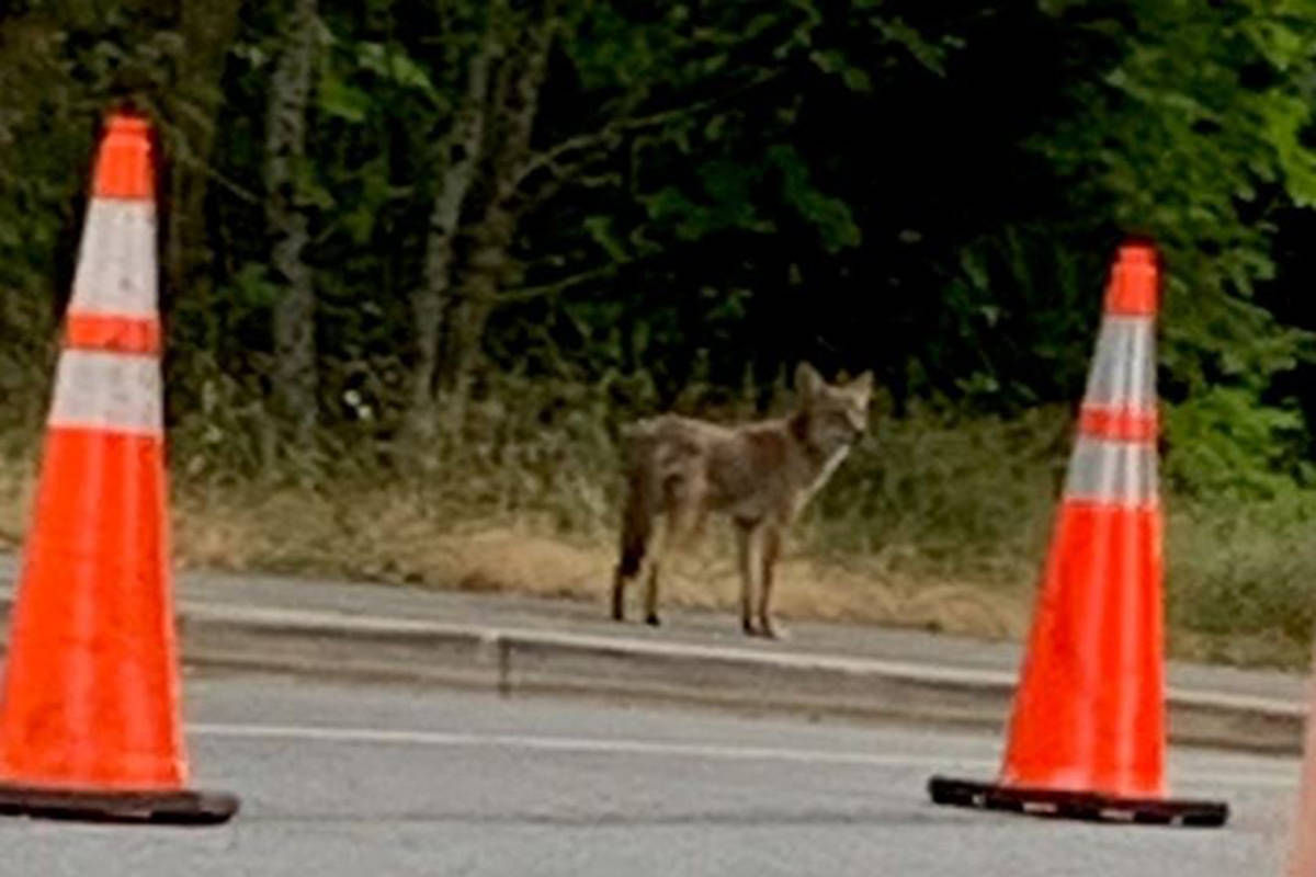 A coyote attacked three people in Stanley Park on Wednesday, July 7, 2021. (Conservation Officer Service/Facebook)