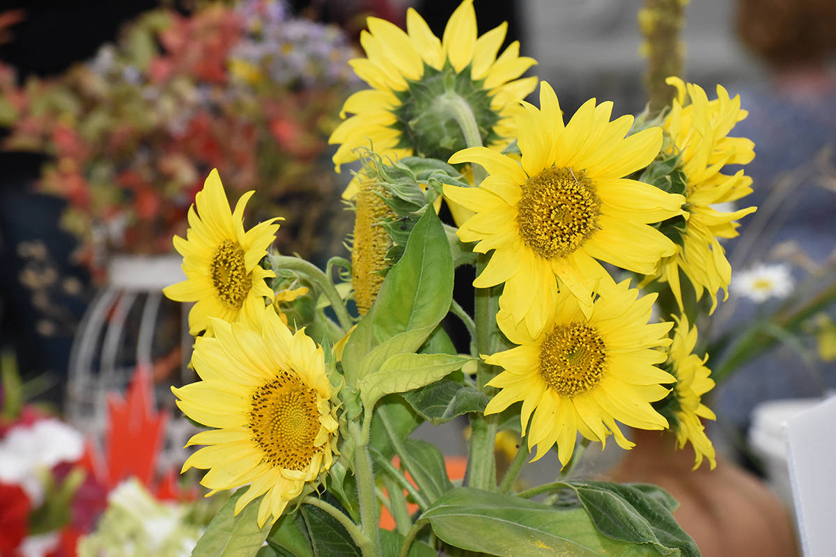 A sunflower is on display at the Williams Lake Harvest Fair. Do you know where the sunflower originated? (Angie Mindus photo)