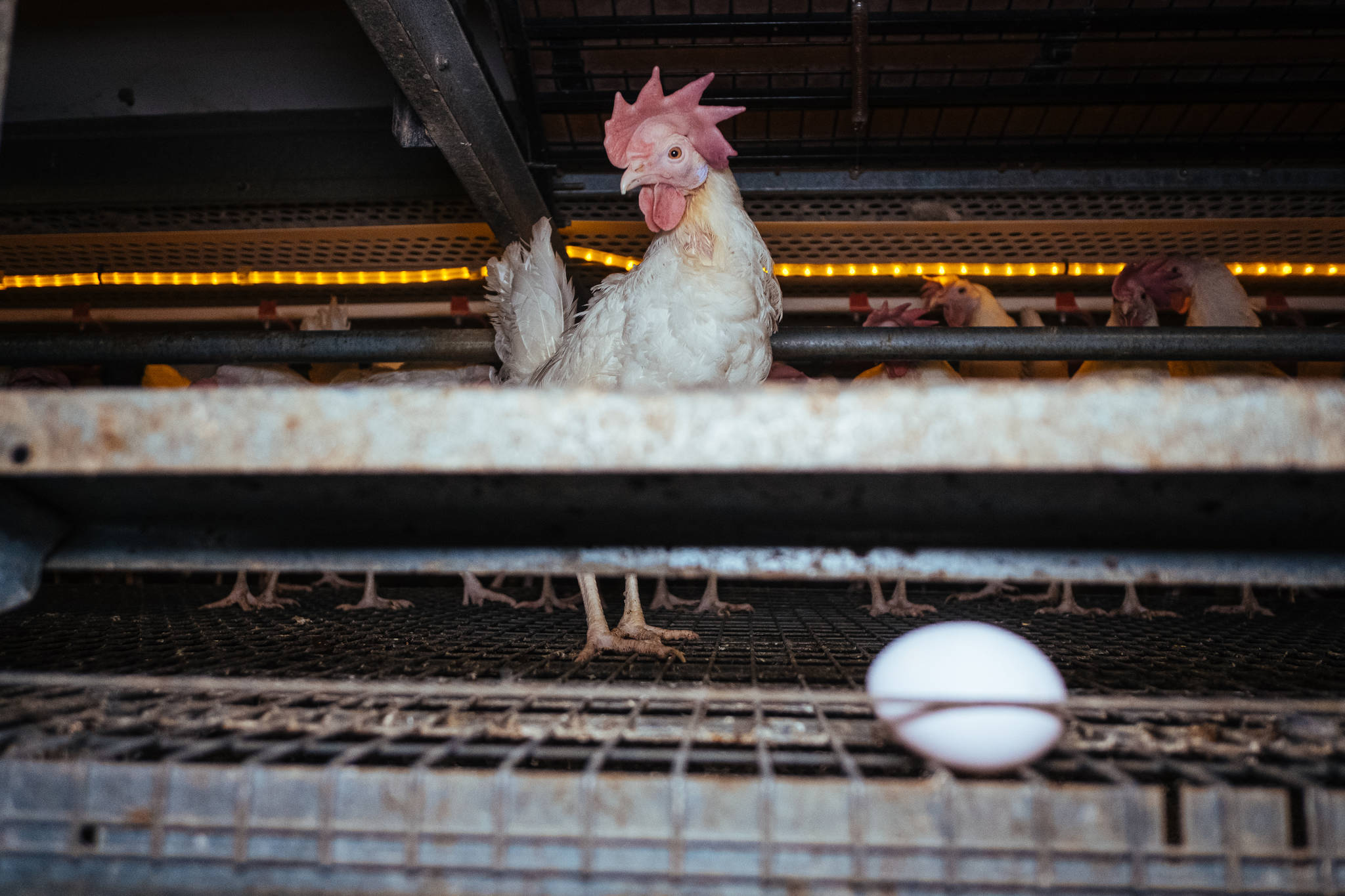 Egg laying chickens in a free-run barn. (Photo by: Clément Martz)