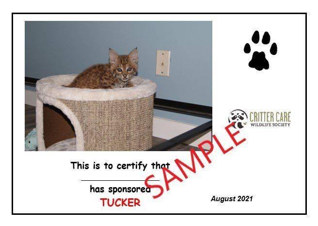 Sponsors of orphaned bobcat Tucker will get a certificate. (Critter Care)