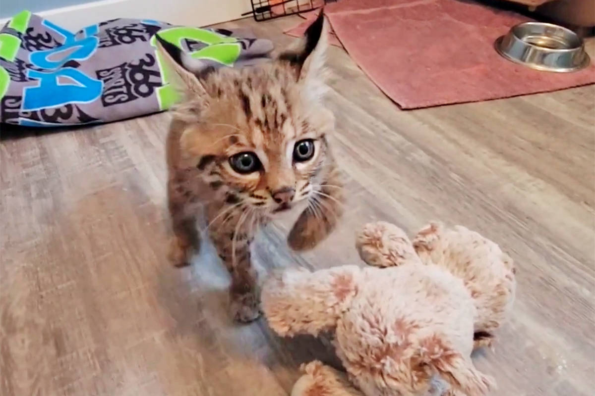 Tucker, the starving bobcat rescued by Langley's Critter Care, is doing well, but he will need new accommodations. The wild animal rehab centre has launched a sponsorship campaign to help pay for it. (Critter Care video)