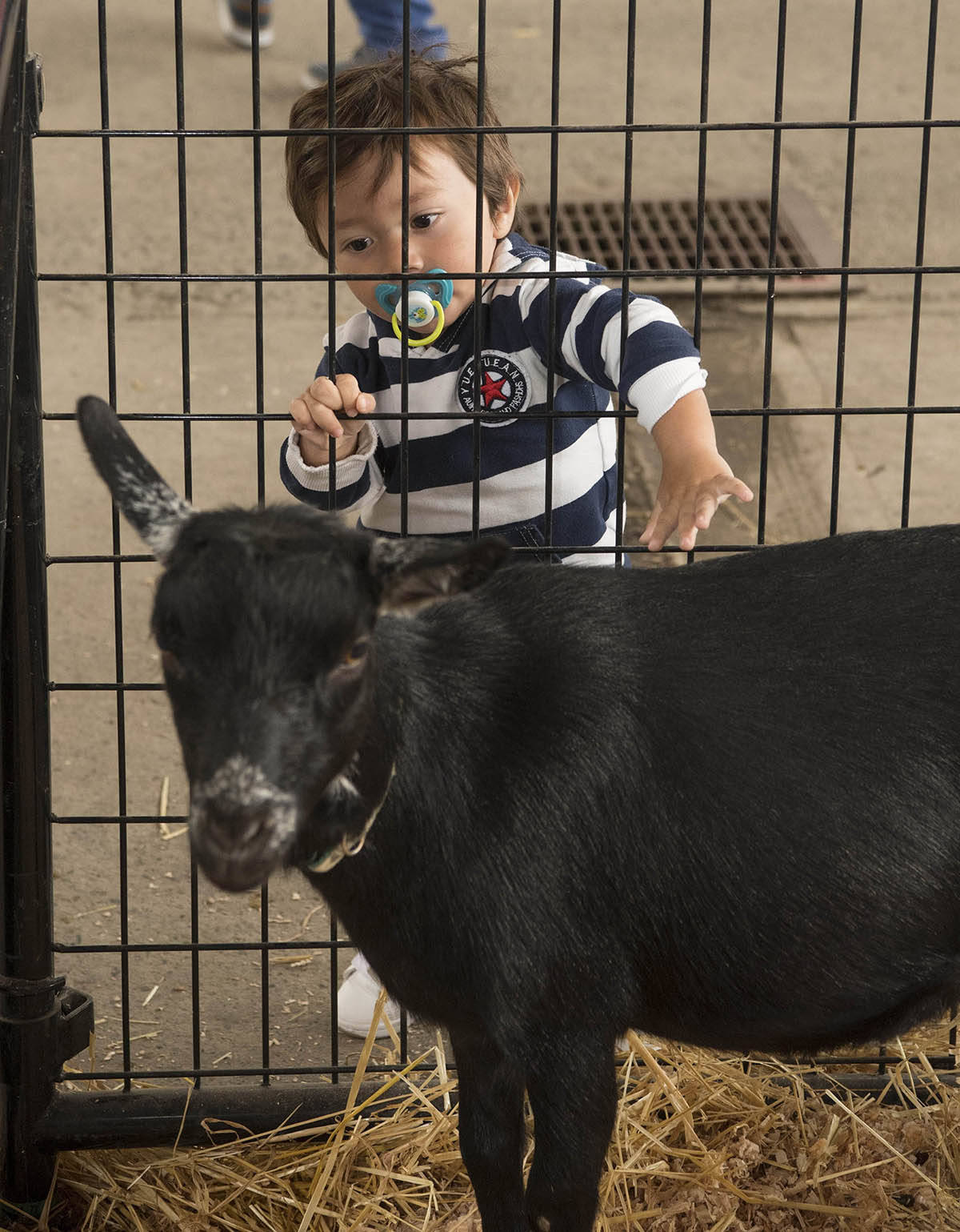 At the livestock barns, Surrey's Santiago Melgar, 1, wasn't the only kid in attendance during the opening day of the 2021 PNE Fair FUNdamentals, on Saturday, Aug. 21. The fair runs until Sept. 6 (closed Aug. 23 and 30) at a reduced capacity, and admission tickets must be purchased online in advance. (Photo courtesy PNE/Craig Hodge)