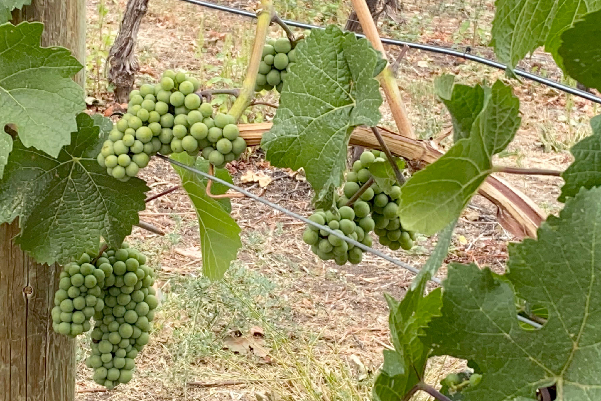 Grapes ripen on the vines at a Summerland vineyard. This year's extreme summer heat and busy wildfire season are affecting wineries and grape growers in the community. (John Arendt - Summerland Review)