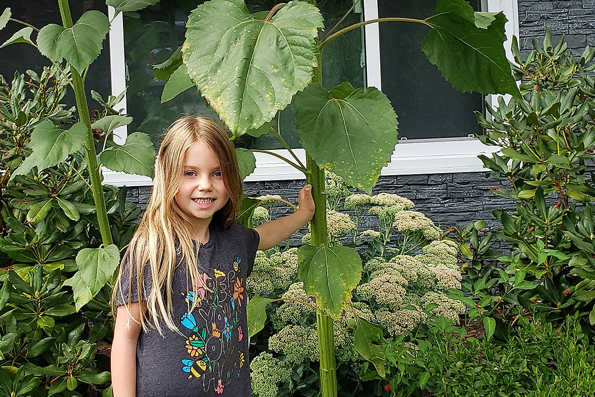 Six-year-old Sierra Farris grew this 12.5-foot high sunflower at her grandmother's home in Brookswood, giving Jack and his beanstalk a run for their money. (Elaine McIntee/Special to the Langley Advance Times)