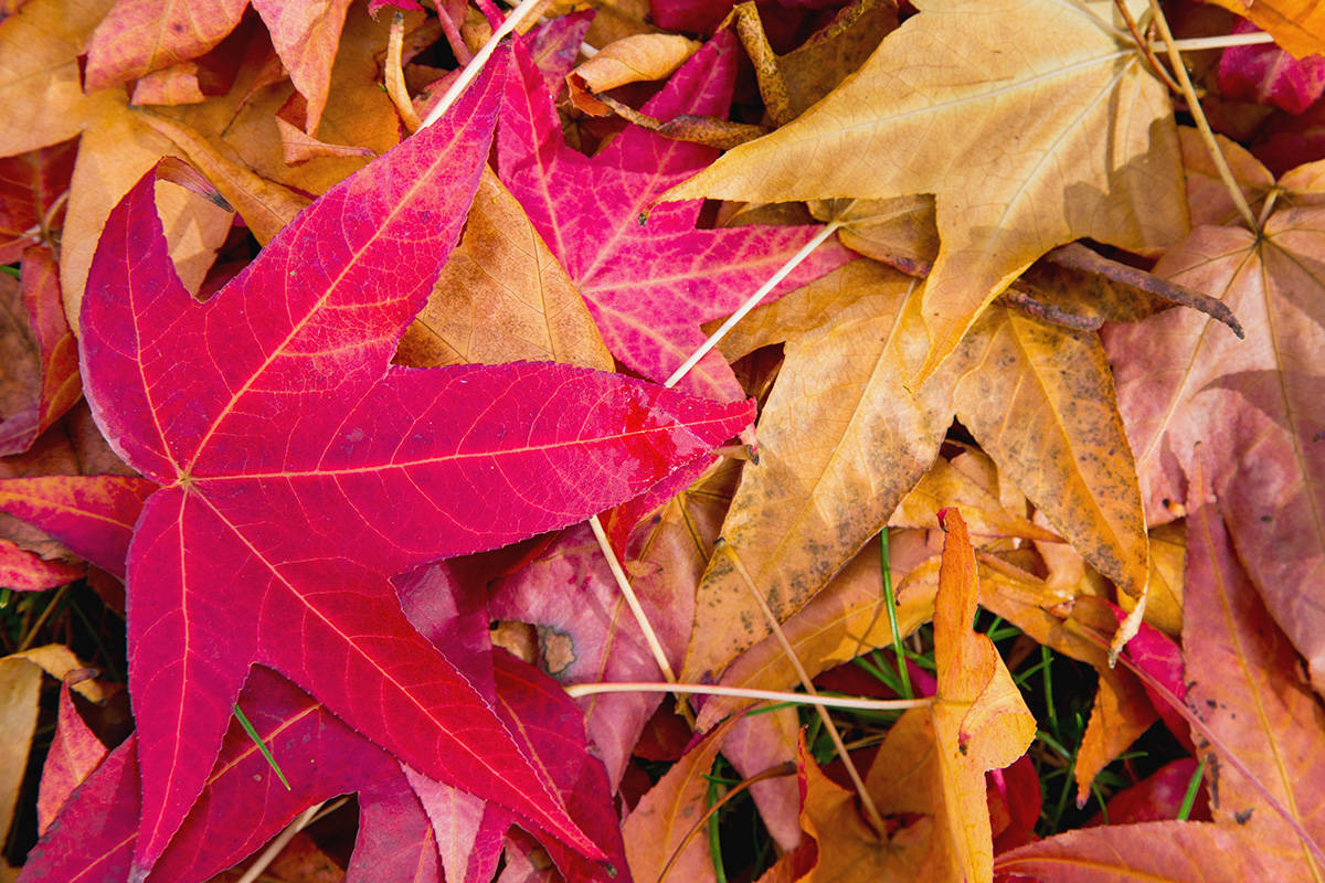 A close-up shot of fallen of autumn leaves carpeting the ground. (File photo)