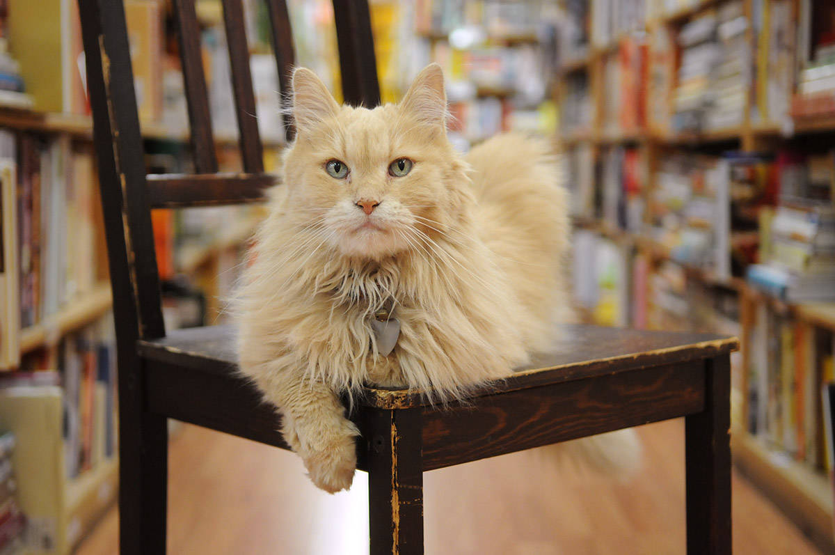 Nietzsche, the late ginger cat who worked at The Book Man in Chilliwack, poses for a photo on Sept. 7, 2017. Wednesday, Sept. 1, 2021 is Ginger Cat Appreciation Day. (Jenna Hauck/ Chilliwack Progress file)