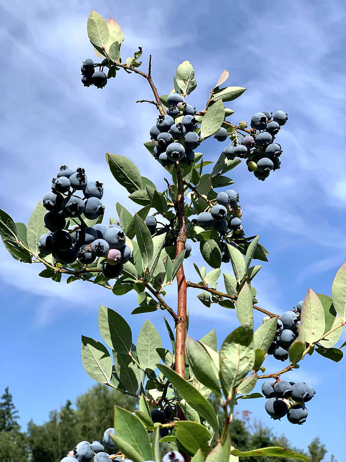 """Xinguang Yang has been in  Langley for a little more than a year now, and said one of his favourite things to do is pick blueberries at Langley farms. """"I like Langley very much,"""" he shared. (Special to the Langley Advance Times)"""