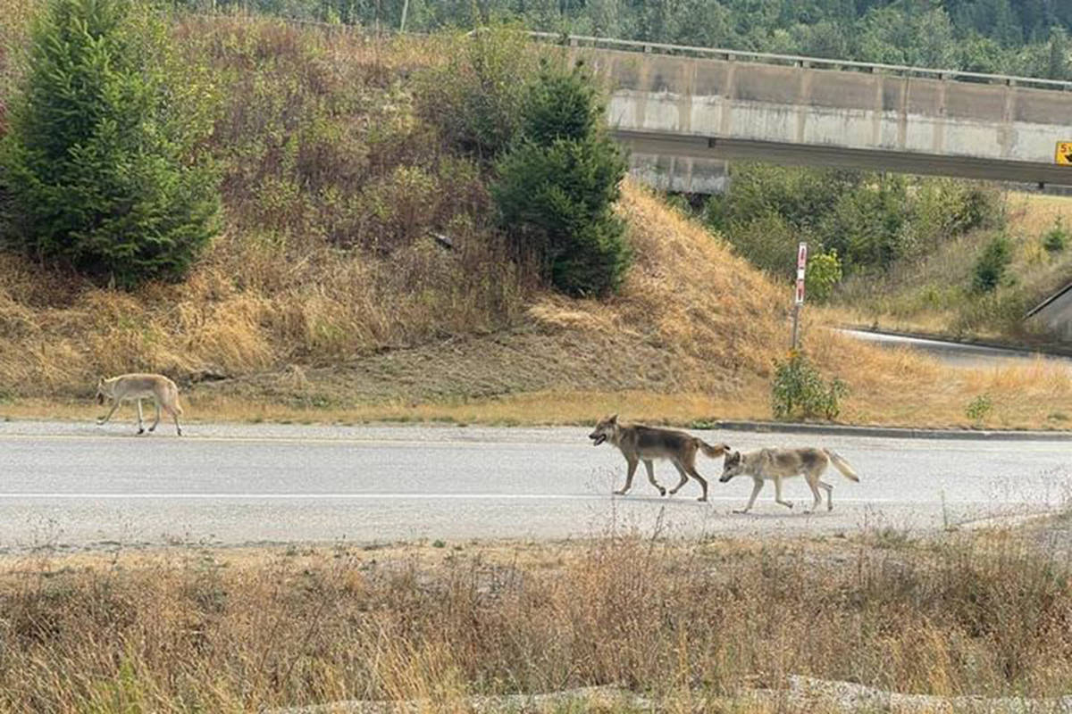 A shot of a pack of hybrid wolf-dogs that have suddenly appeared in the eastern Fraser Valley: from Laidlaw to Popkum. If you know anything about the origin of these animals, please call the Report All Poachers and Polluters hotline at 1-877-952-7277 (RAPP). (Valerie Schepannek/Facebook)