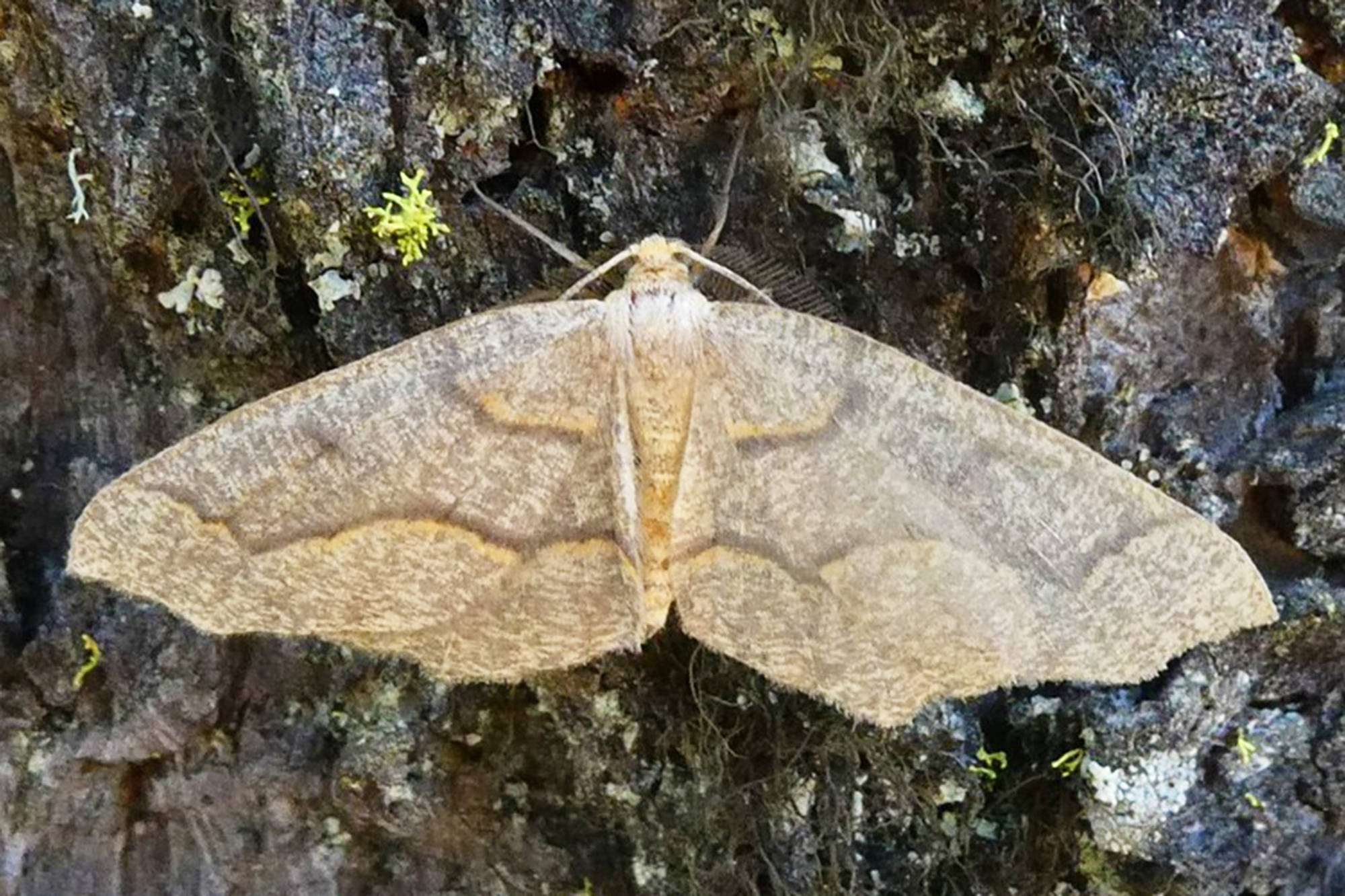 """This year's Western hemlock """"looper"""" moth outbreak has been seen in the Lower Mainland and the Interior, including communities throughout the Columbia Shuswap Regional District. (Lorraine Maclauchlan photo)"""