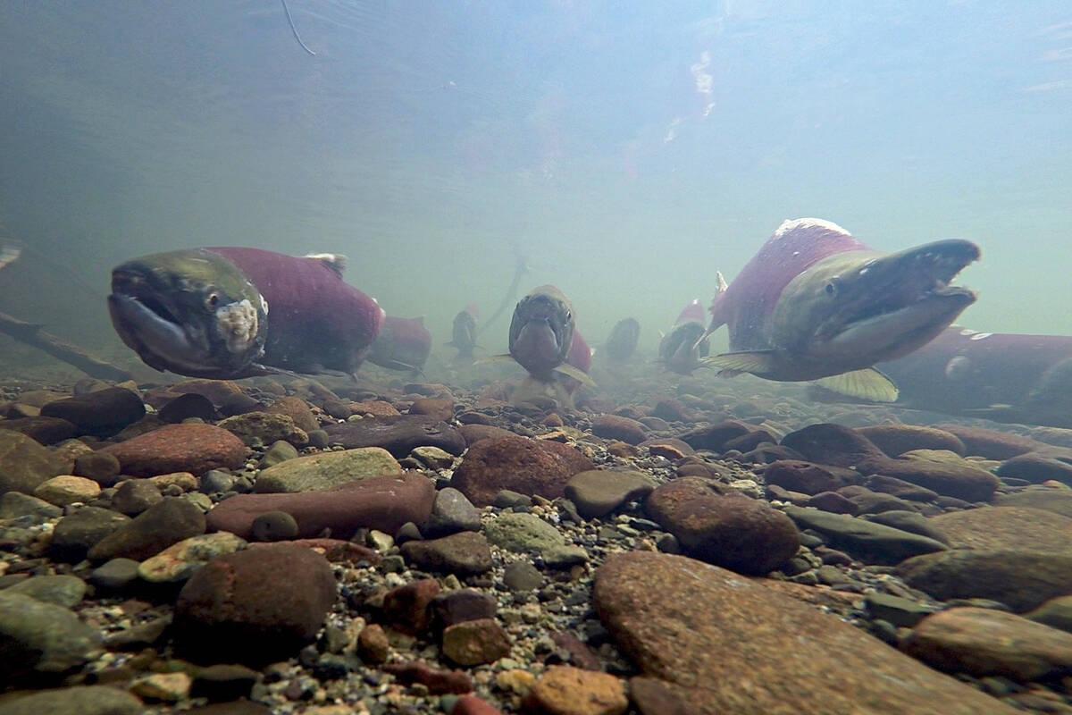 Ben Mantel's photo 'Spawning Salmon' was the Wild Salmon category winner for the 2019 SkeenaWild Film & Photo Festival. (SkeenaWild Photo)
