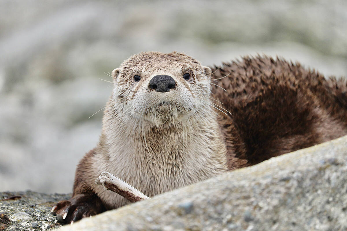 River otters often thrive in the salty ocean waters along the Victoria shore (Ella Smiley).