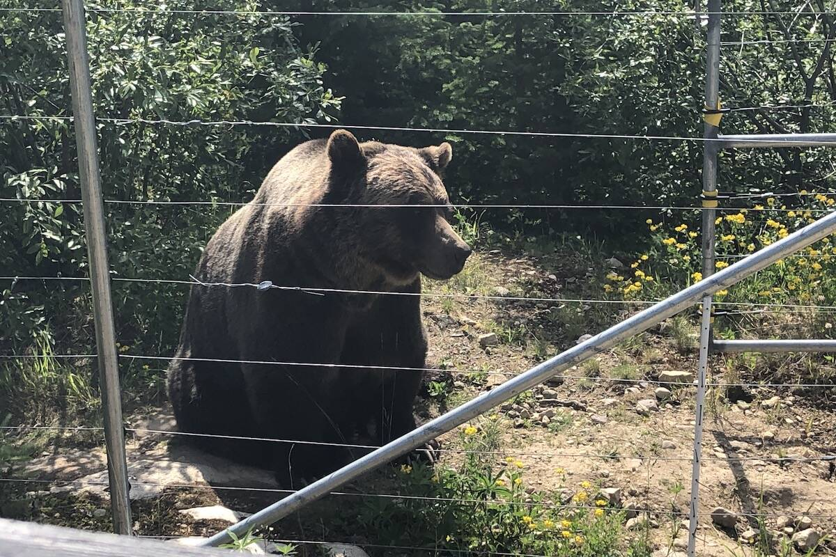Boo the bear is a popular summer attraction at Kicking Horse Mountain Resort, and can sometimes be viewed from the gondola during spring skiing when he awakes from his den from the winter. While he cannot be released to the wild, he's helped 31 grizzly cubs enter rehabilitation programs based on observations and research from the grizzly refuge. (Claire Palmer photo)