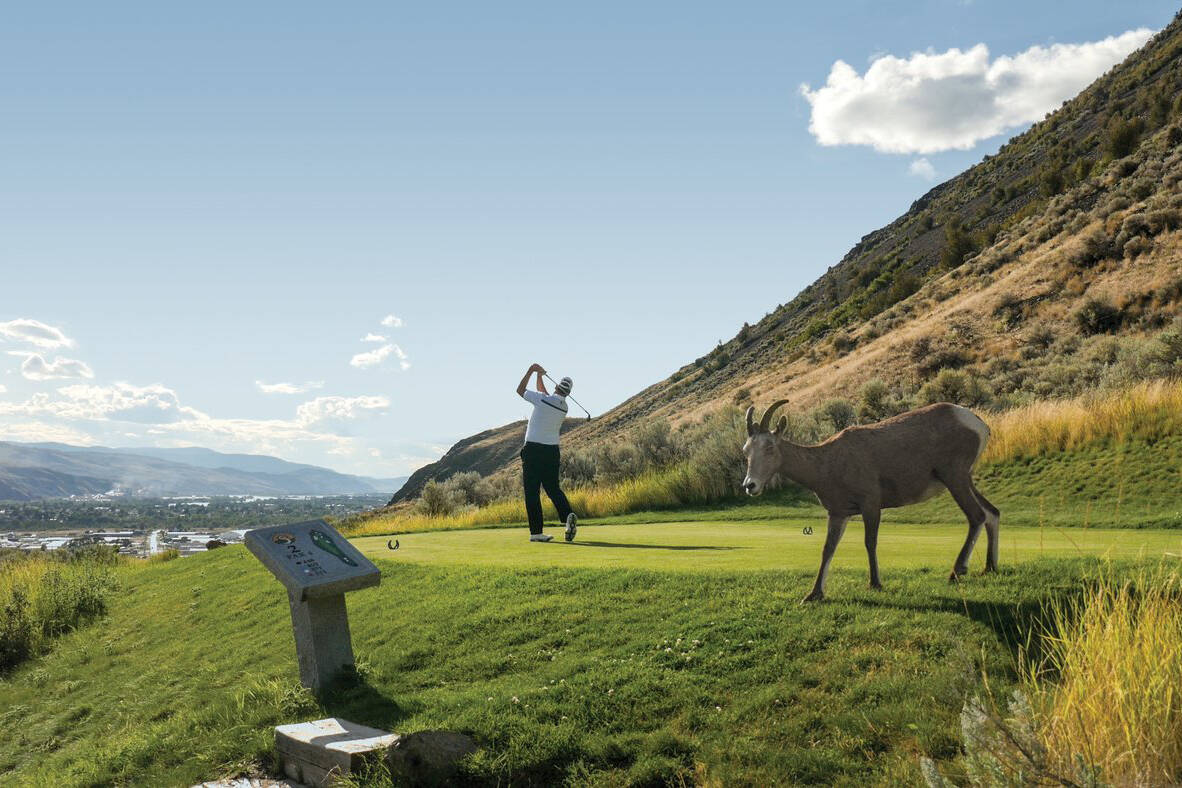Watch out for 'kids' on the Bighorn Golf and Country Club during your vacation in Kamloops! Photo: Chris Wheeler/Tourism Kamloops