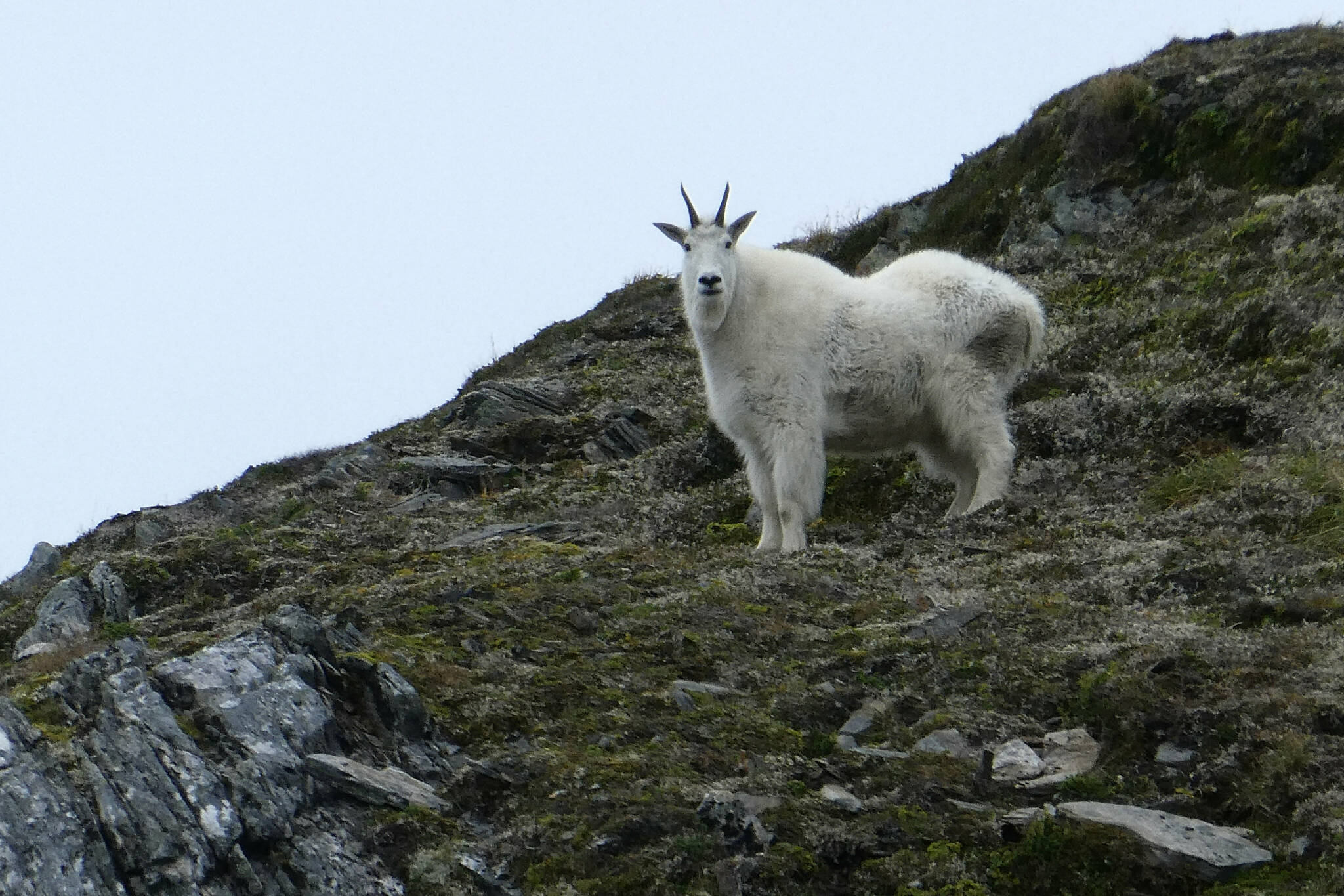 A mountain goat stands on Sheep Mountain in the backcountry of Juneau, Alaska, on Thursday, Aug. 27, 2020. The goat was among four grazing on the mountain. (AP Photo/Becky Bohrer)