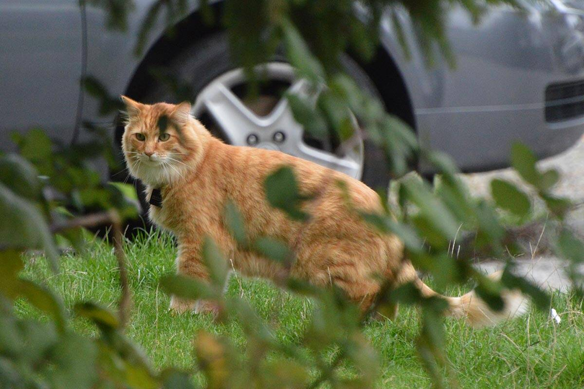 A Guildford neighbourhood rat infestation has gotten so bad that Whiskers has stopped trying. (Aaron Hinks photo)