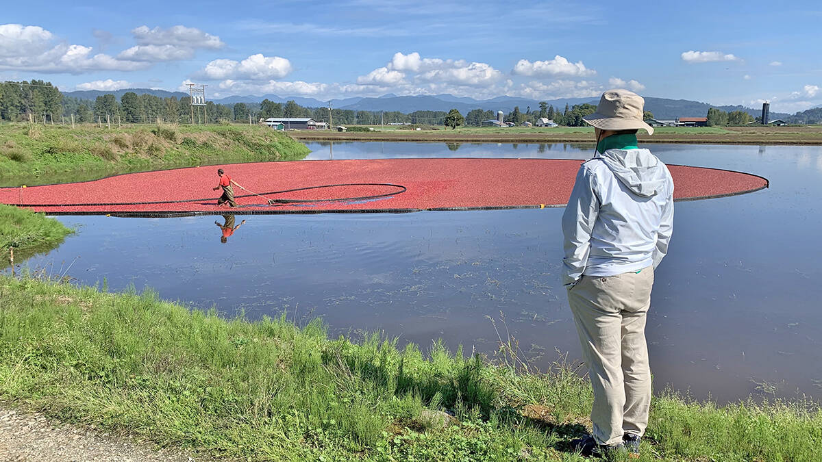Xinguang Yang came upon cranberries being harvested. (Special to the Langley Advance Times)
