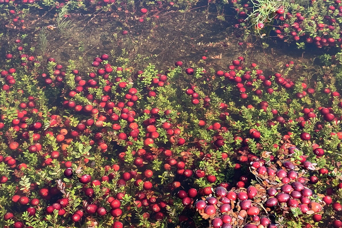 Xinguang Yang's walk in North Langley on Thursday, Sept. 23, 2021, yielded a pleasant surprise. He was able to see the cranberry harvest taking place.