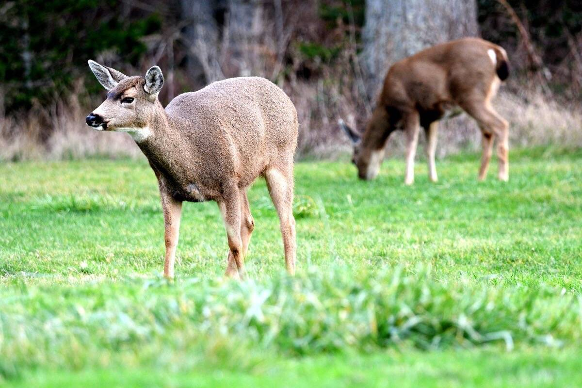 Members of the black-tailed deer family appear to be most severely affected by adenovirus hemorrhagic disease. (Photo - Veronika Andrews)