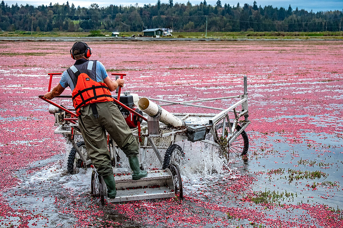 Self-guided cranberry harvest tours run until Oct. 9 at the Riverside Cranberry Farm (above). (Joy Ruffeski/Special to the Aldergrove Star)
