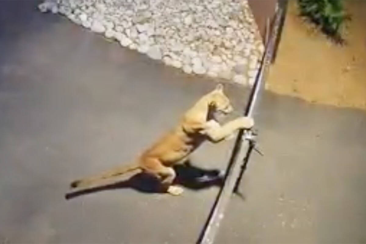 Jamie Purcell posted home surveillance footage of a large, muscular cat as it effortlessly clears the gate of Purcell's home in the area of 240th Street and 55th Avenue around 6 p.m. on Aug. 29, 2021. (Jamie Purcell/Special to Langley Advance Times)