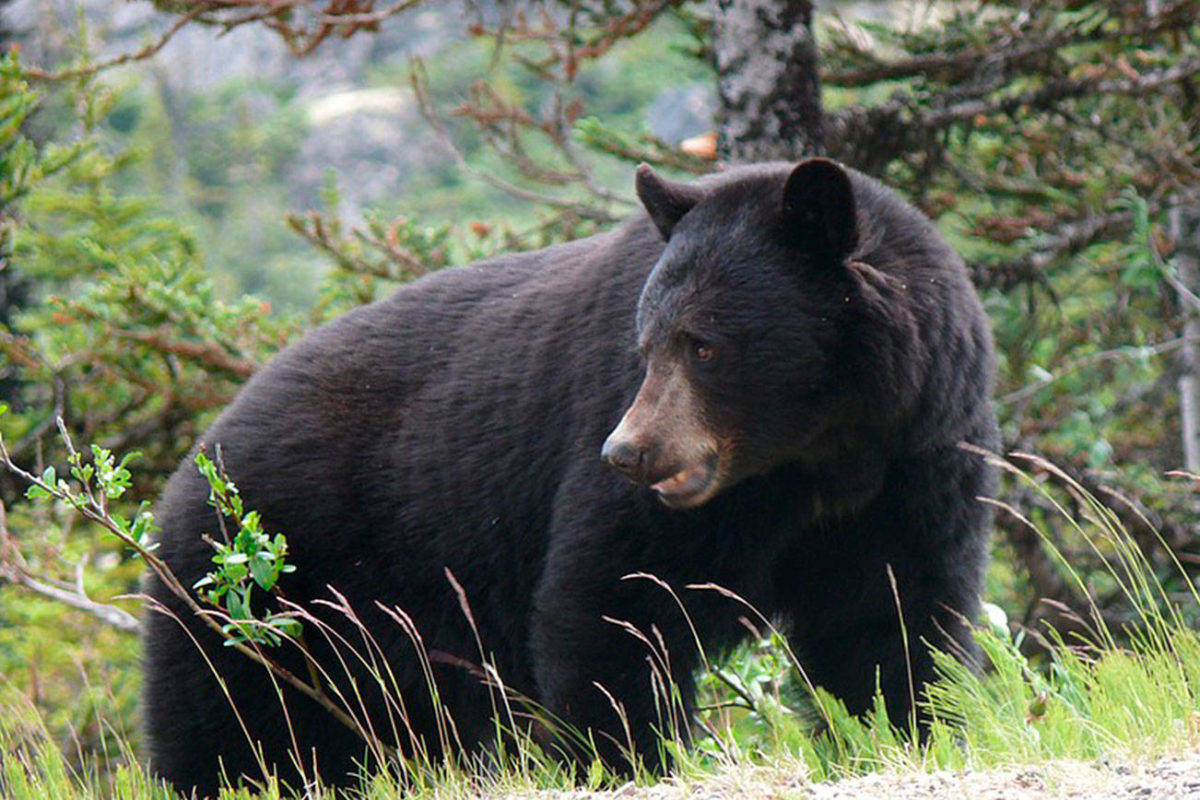 In September 2021, 142 black bears were destroyed by the B.C. Conservation Officer Service due to human conflict. (Black Press file photo)