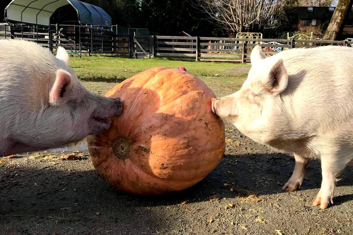 The pigs at Aldergrove-based Happy Herd farm are looking for more tasty treats this pumpkin season. (Tiffany Akins/Aldergrove Star files)