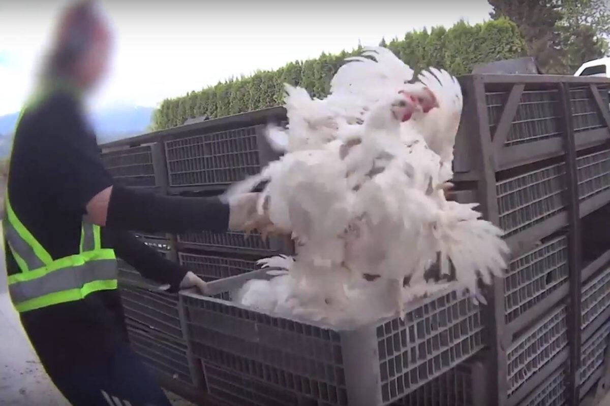 A worker employed by a Chilliwack-based agricultural employer seen throwing chickens into crates in an undercover video filmed by Mercy For Animals. (Submitted photo)