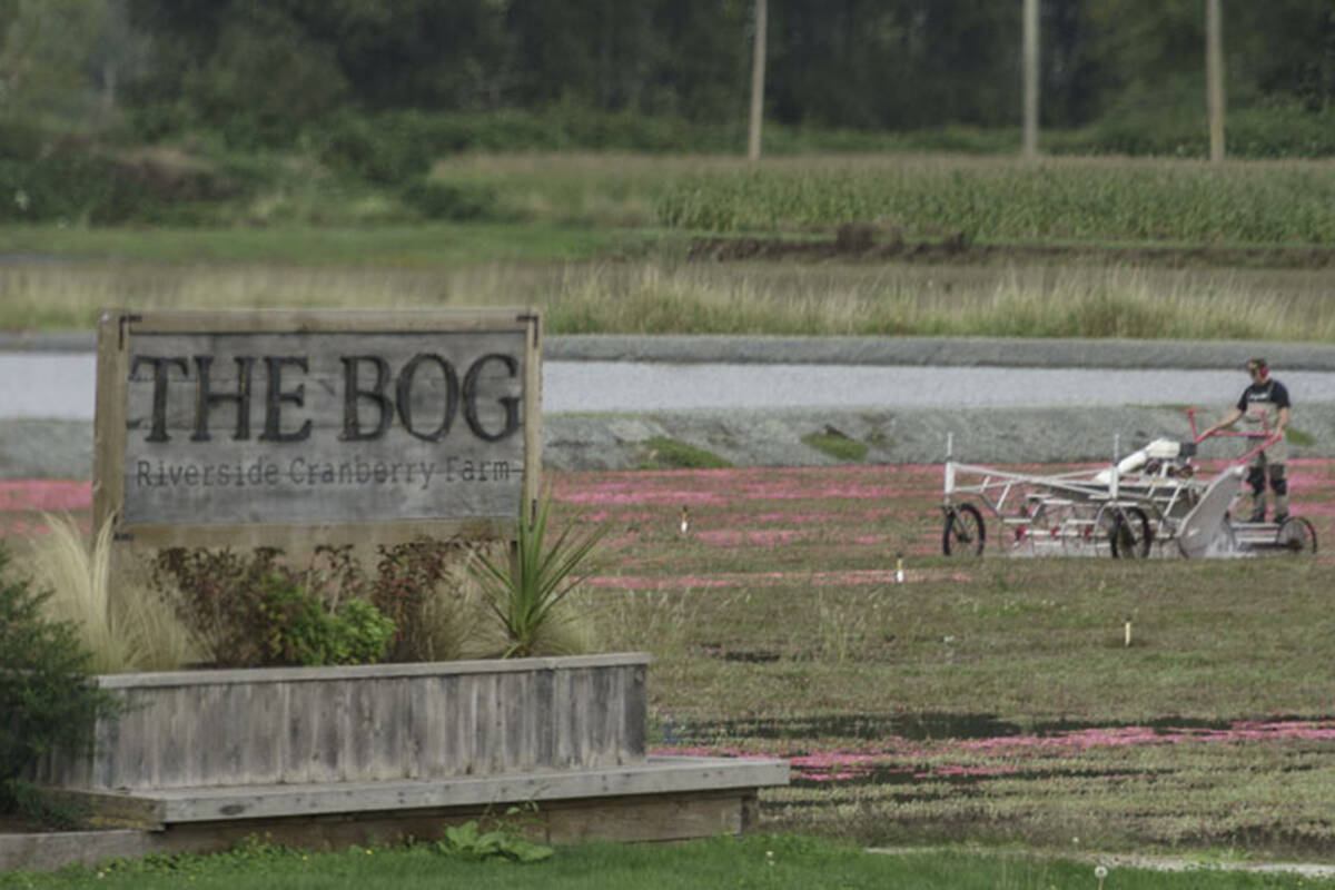 Self-guided cranberry tours are back for the second year at The Bog at Riverside Cranberry Farm. (Lou Fasullo/Special to Black Press Media)