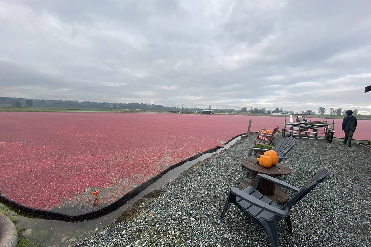 Self-guided cranberry tours are back for the second year at The Bog at Riverside Cranberry Farm. (Madison McKenzie/the Aldergrove Star)