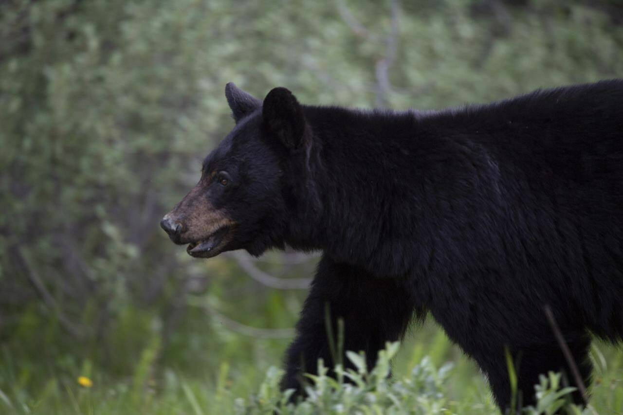 A black bear is seen near Lake Louise, Alta., Sunday, June 14, 2020. A Whistler, B.C., woman has been hit with a $60,000 fine after feeding bulk produce to bears over the course of a summer. THE CANADIAN PRESS/Jonathan Hayward