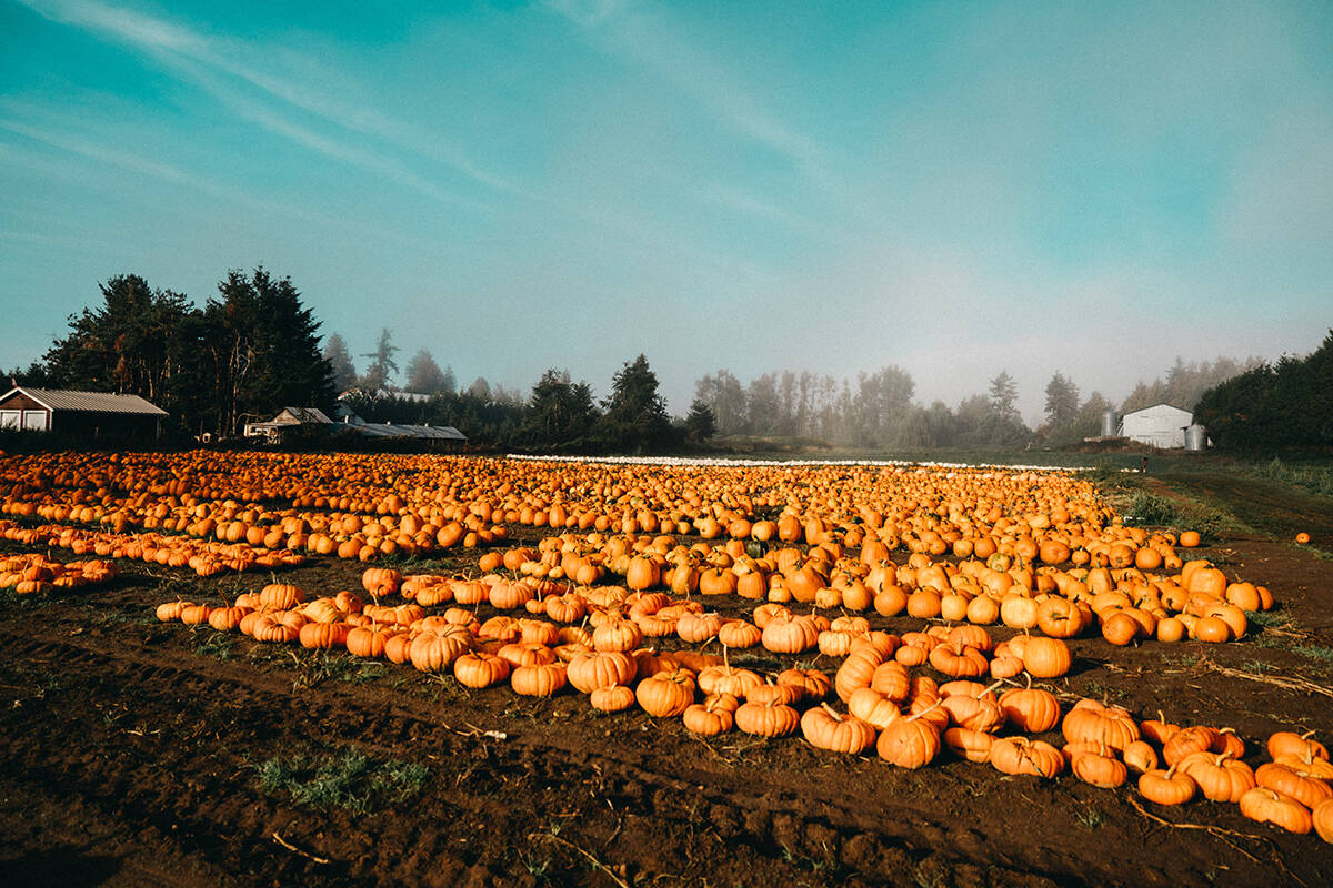 Maan Farms in Abbotsford has lost half of its pumpkin crop due to rot. The unmarketable pumpkins are being offered to animal farmers and sanctuaries. (Dylaina Gollub Photography)