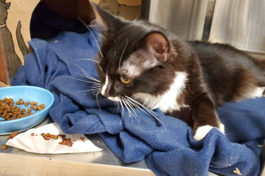 One of the cats recovered by the SPCA. (BC SPCA photo)