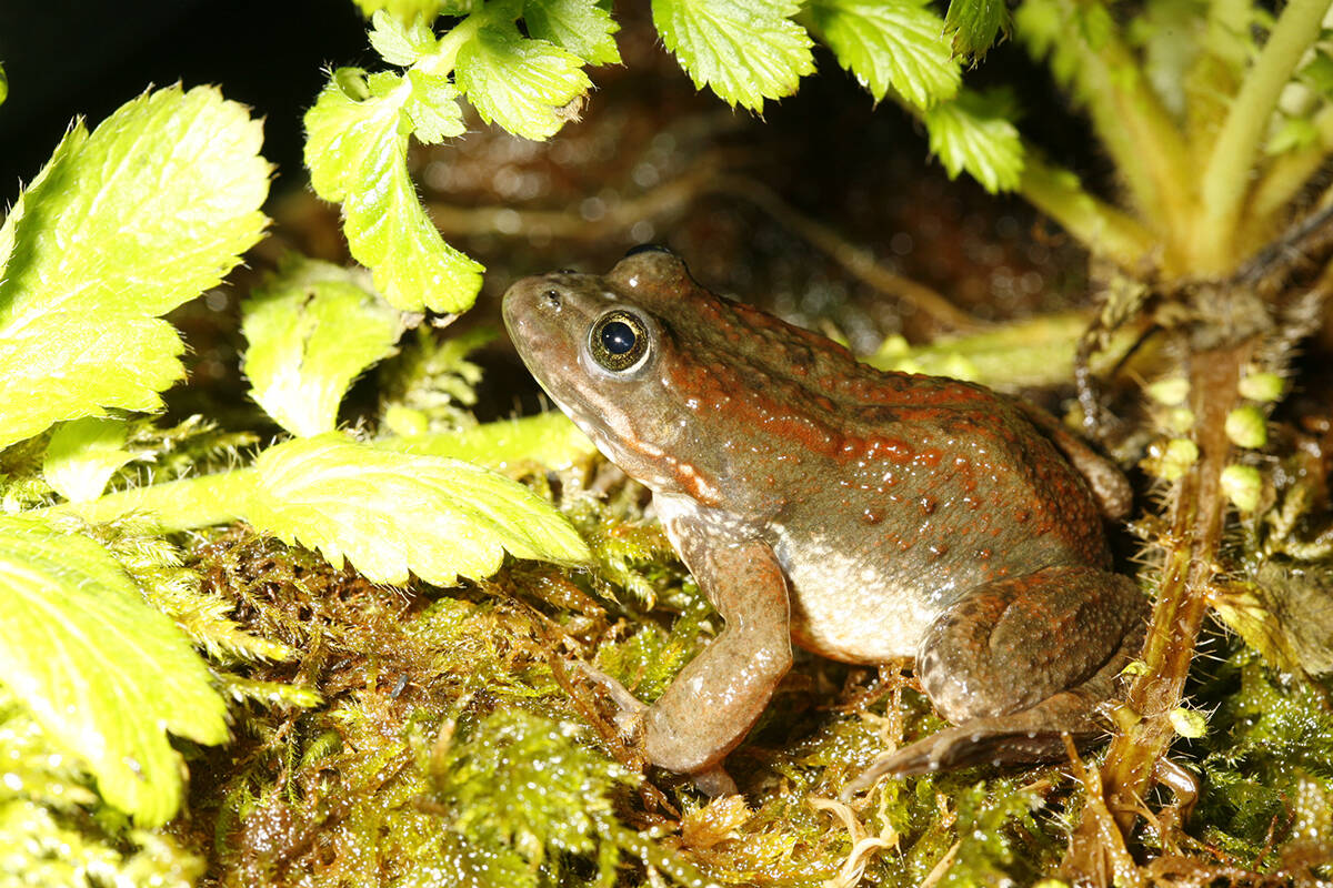 Oregon Spotted frogs have been on the list of endangered animals since 1999 (Cody Gampe/Special to The Star)
