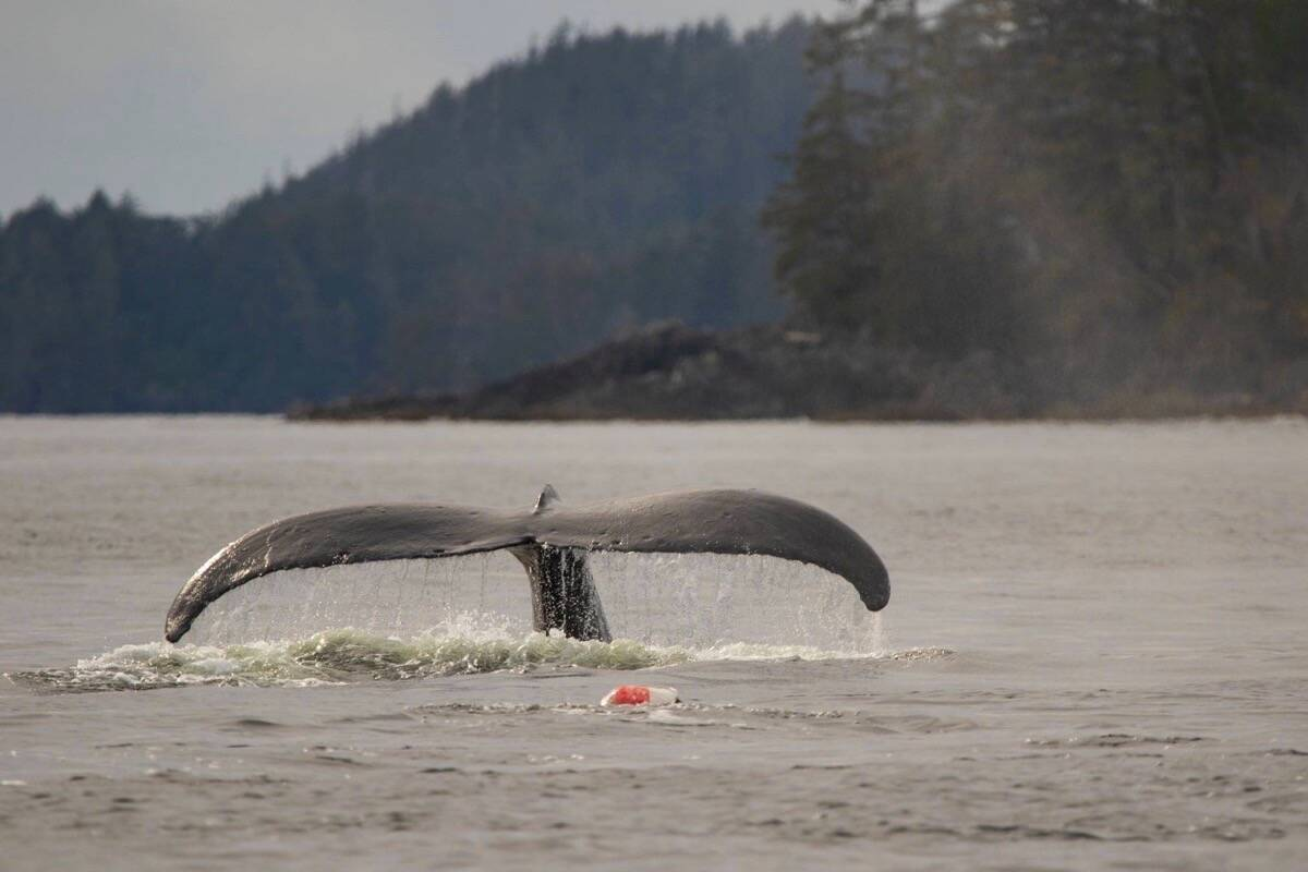 """Photographed on Oct. 7, """"Pinky"""" the humpback whale was spotted entangled in a crab trap line in Barkley Sound. (Sydney Dixon photo)"""