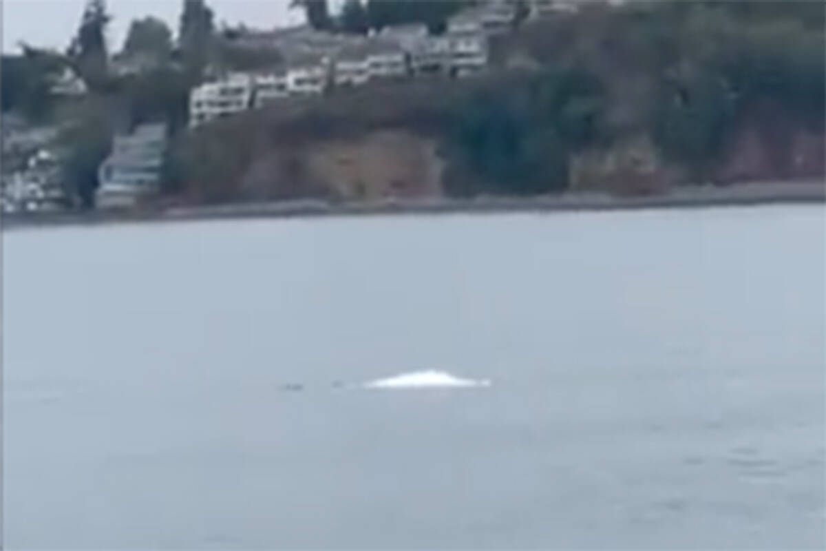 A beluga whale was spotted in Puget Sound for the first time since 1940 in the first week of October. (Photo courtesy of Jason Rogers/ NOAA Fisheries West Coast Region on Twitter)