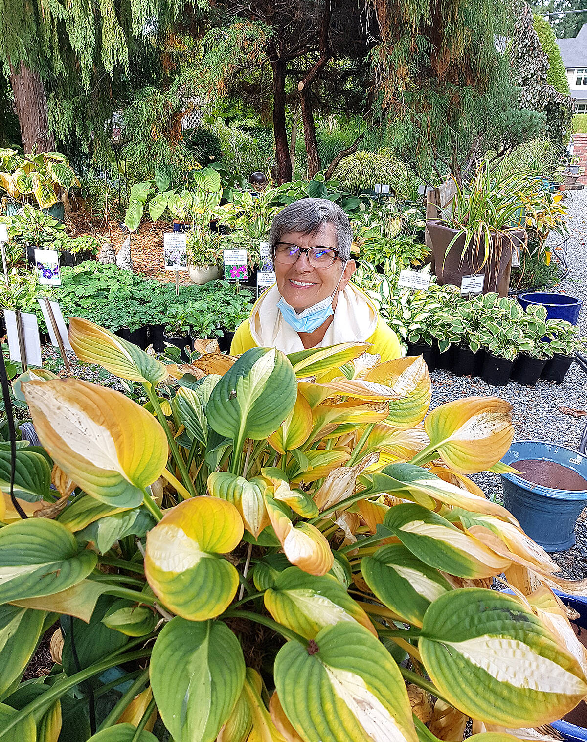 Dorothy MacBeth admired some of the hostas at Erikson's Daylily Gardens, despite their end of season yellowing. (Pam Erikson/Special to Langley Advance Times)