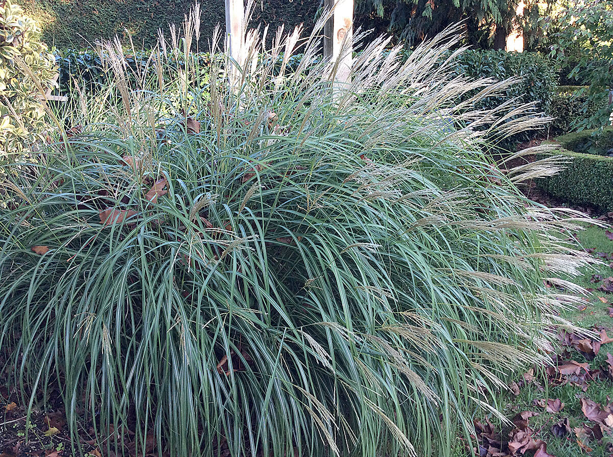 Late grasses always add to the beauty of a fall garden. (Pam Erikson/Special to Langley Advance Times)