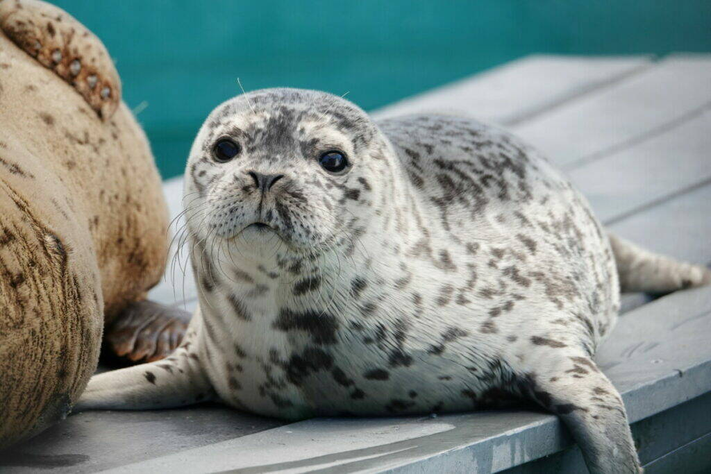 Dory is the first seal pup to be born at the Marine Mammal Rescue Centre. She was born in May to Donnelly, who was admitted after she was hit by a boat in Indian Arm. (Vancouver Aquarium)