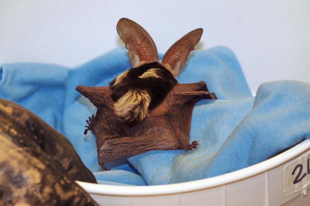 The rare spotted bat is named for the white markings on its back. (Photo/Wildlife Rescue Association of B.C.)